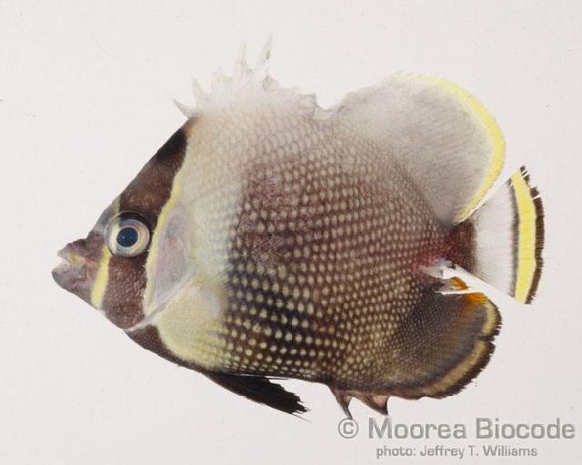 Image of Black Butterflyfish