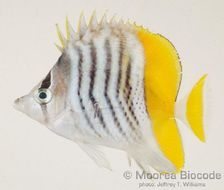 Image of Atoll Butterflyfish