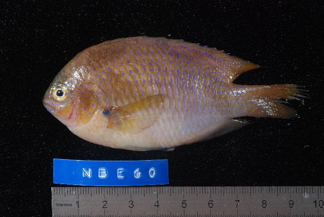 Image of <i>Pomacentrus baenschi</i> Allen 1991