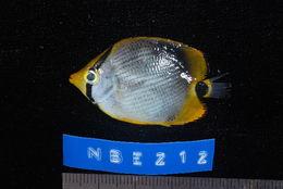 Image of Black-back Butterflyfish