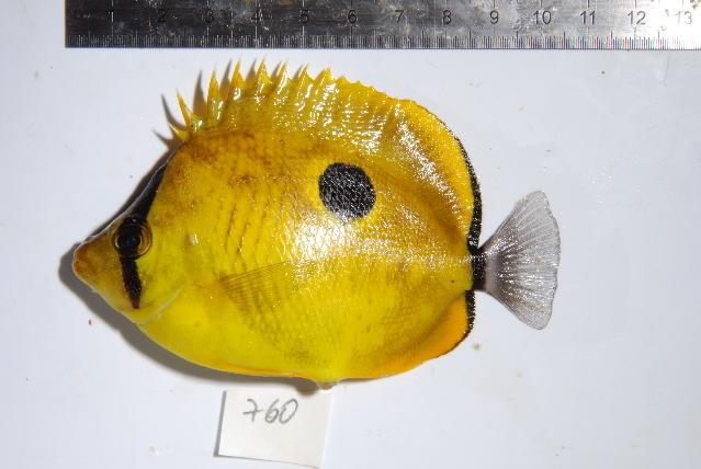 Image of Yellow Teardrop Butterflyfish