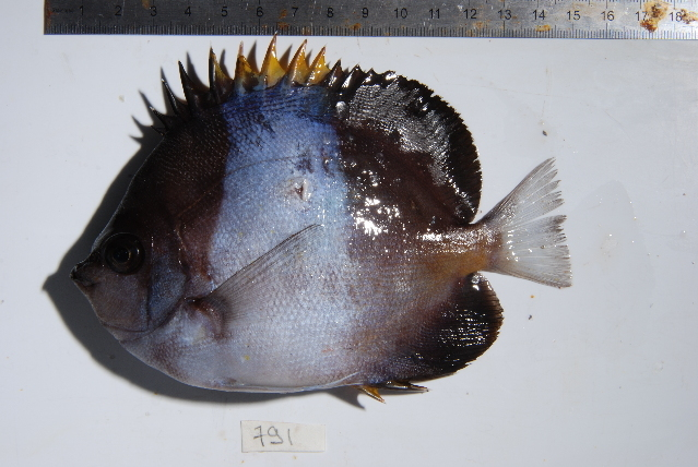 Image of Black Pyramid Butterflyfish