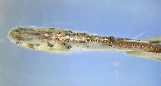 Image of Myctophinae