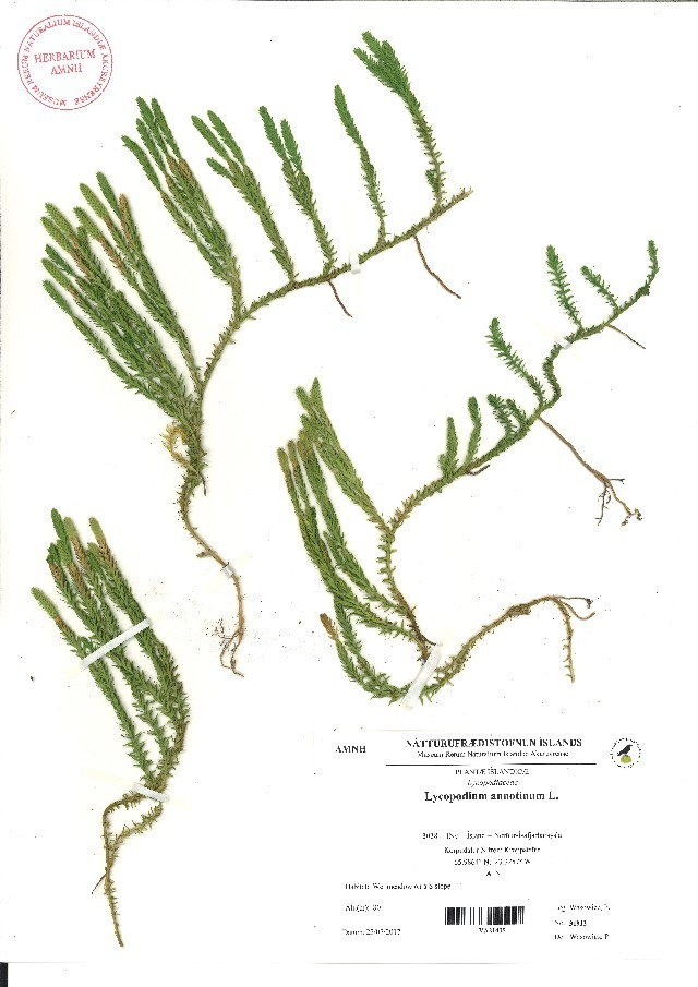 Image of clubmoss