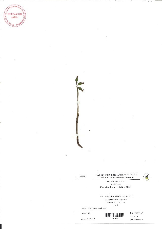 Image of Coralroot
