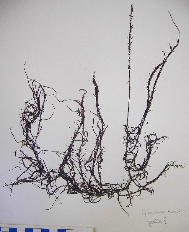 Image of <i>Gracilariopsis longissima</i>