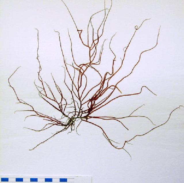 Image of <i>Gracilaria gracilis</i>