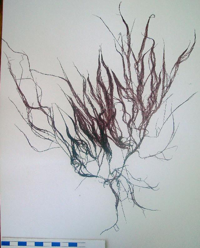 Image of <i>Hypnea cornuta</i>