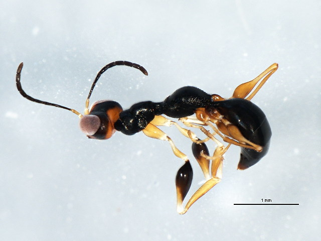 Image of <i>Gonatopus clavipes</i>