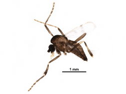 Image of frog-biting midges