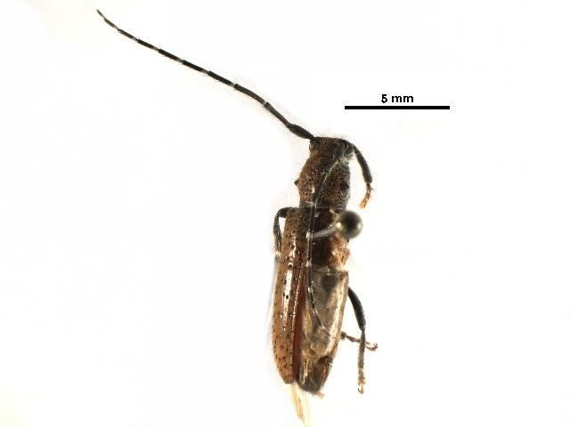 Image of Esthlogena
