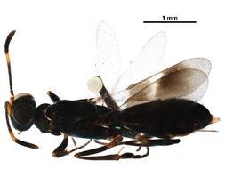 Image of <i>Zaischnopsis</i>