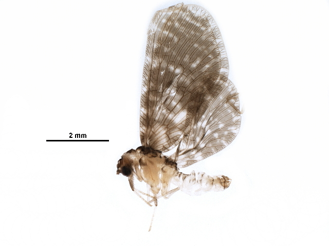 Image of pleasing lacewings