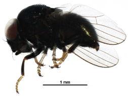 Image of Chamaemyiinae