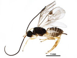 Image of Mendesellinae