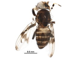 Image of Periscelidinae