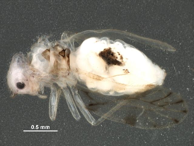 Image of Pseudocaeciliinae Pearman 1936