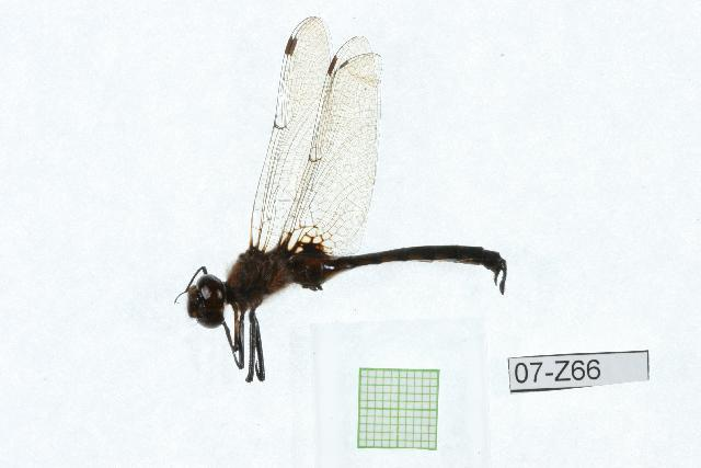 Image of Spiny Baskettail