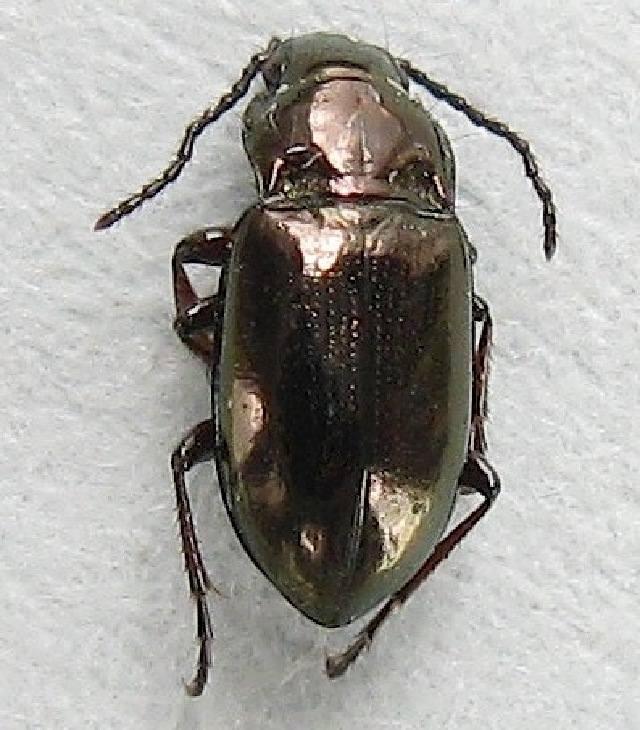 Image of Trachypachus
