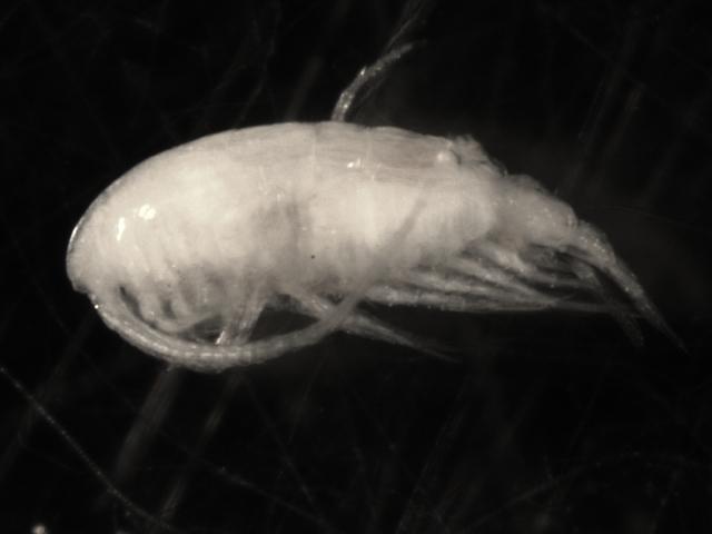 Image of Boeckella