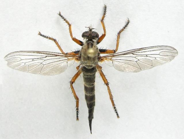 Image of <i>Neomochtherus californicus</i> (Hine 1909)