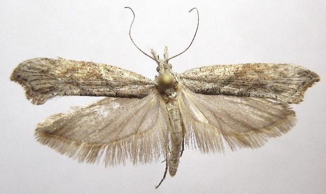 Image of <i>Ypsolopha falciferella</i>