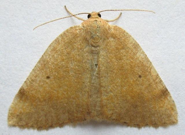 Image of <i>Drepanulatrix nevadaria</i> Hulst 1888