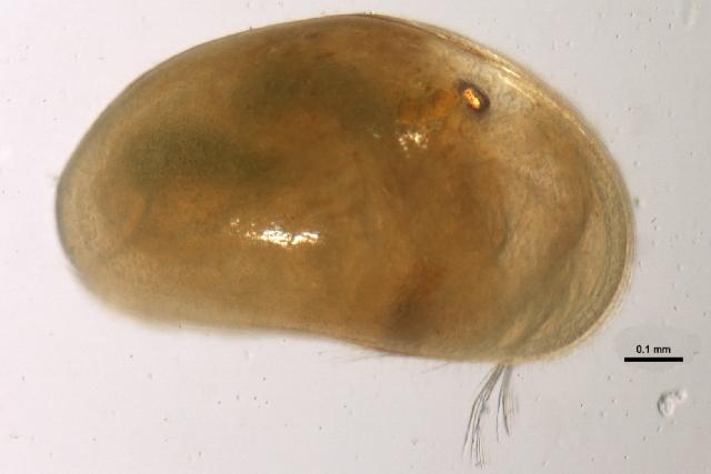 Image of Heterocypris