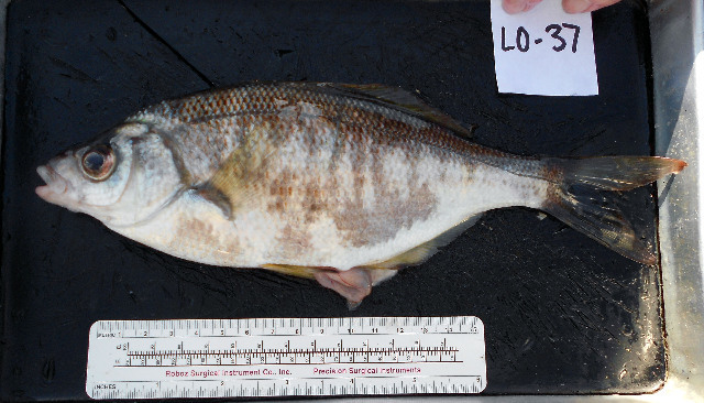 Image of sharpnose seaperch