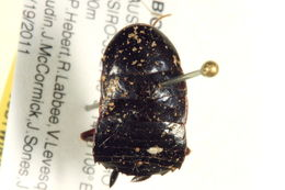 Image of Polyzosteria