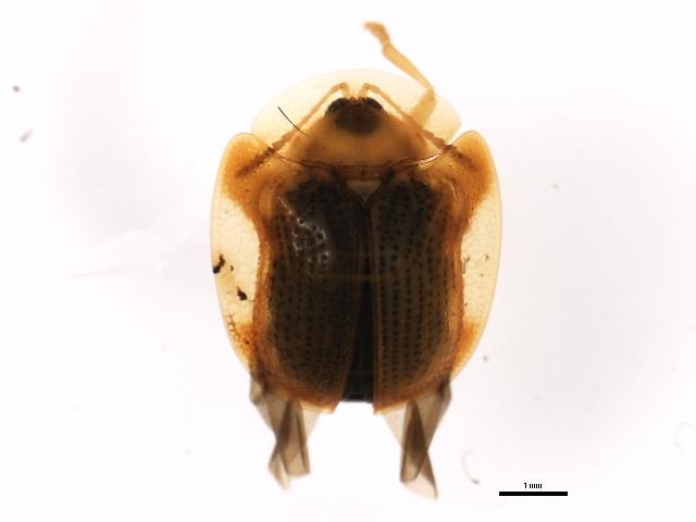 Image of tortoise beetle sp.