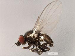 Image of <i>Cerodontha fasciata</i> (Strobl 1880)