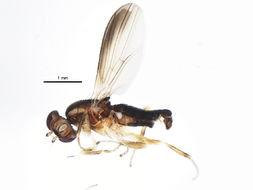 Image of <i>Clusiodes orbitalis</i> Malloch 1922