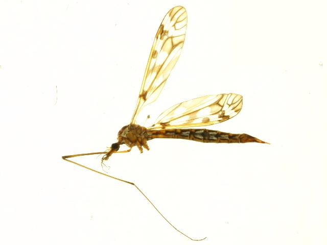 Image of <i>Tipula</i> (Pterelachisus)