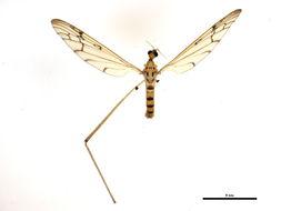 Image of <i><i>Metalimnobia</i></i> (Metalimnobia) <i>triocellata</i> (Osten Sacken 1860)