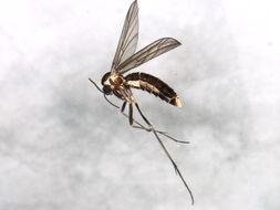Image of <i>Symmerus lautus</i>