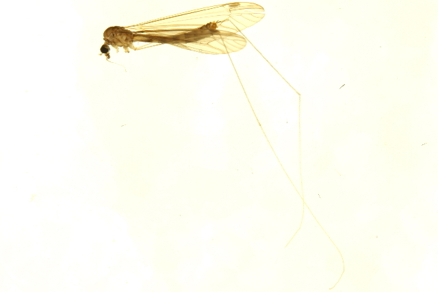 Image of <i>Dolichopeza</i> (<i>Oropeza</i>) <i>obscura</i> (Johnson 1909)