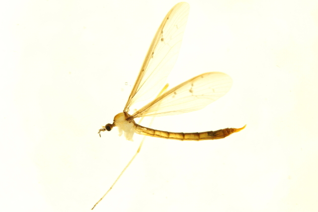 Image of Tricyphona