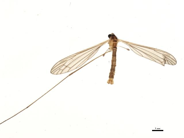 Image of <i>Limonia halterata</i> (Osten Sacken 1869)