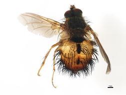 Image of <i>Hystricia abrupta</i> (Wiedemann 1830)