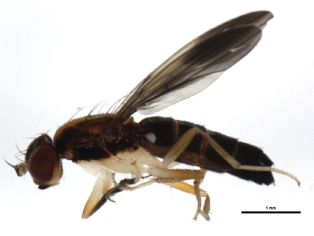 Image of Clusiodes