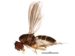Image of <i>Campichoeta griseola</i> (Zetterstedt 1855)