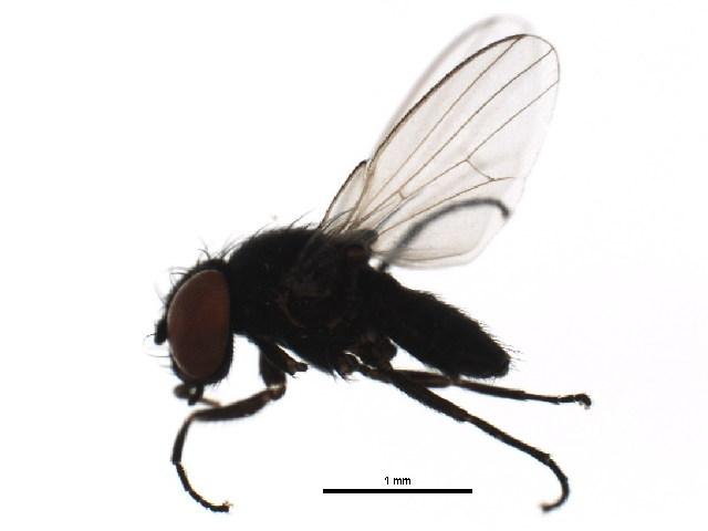 Image of <i>Pholeomyia indecora</i> (Loew 1869)