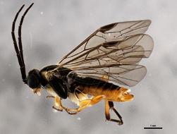 Image of <i>Nematus ribesii</i> (Scopoli)