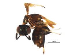 Image of <i>Eupelmus vesicularis</i> (Retzius 1783)