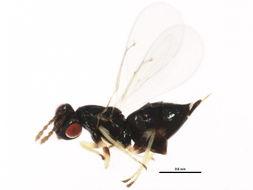 Image of Aprostocetus
