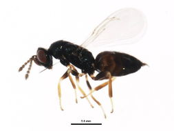Image of <i>Hyssopus novus</i> Girault 1917