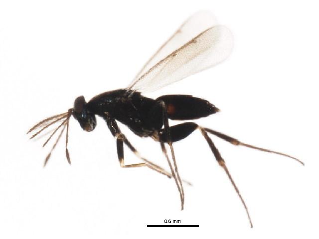 Image of Elasminae