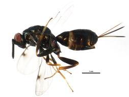 Image of Monodontomerus