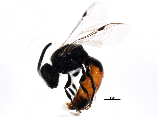 Image of <i>Sphecodes confertus</i> Say 1837